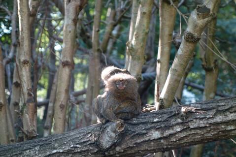 ピグミーマーモセット 生態 販売 値段 動物園