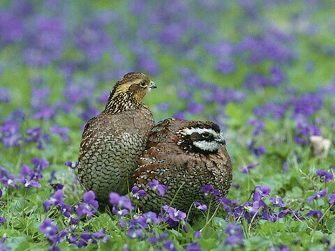 quail-couple-nature
