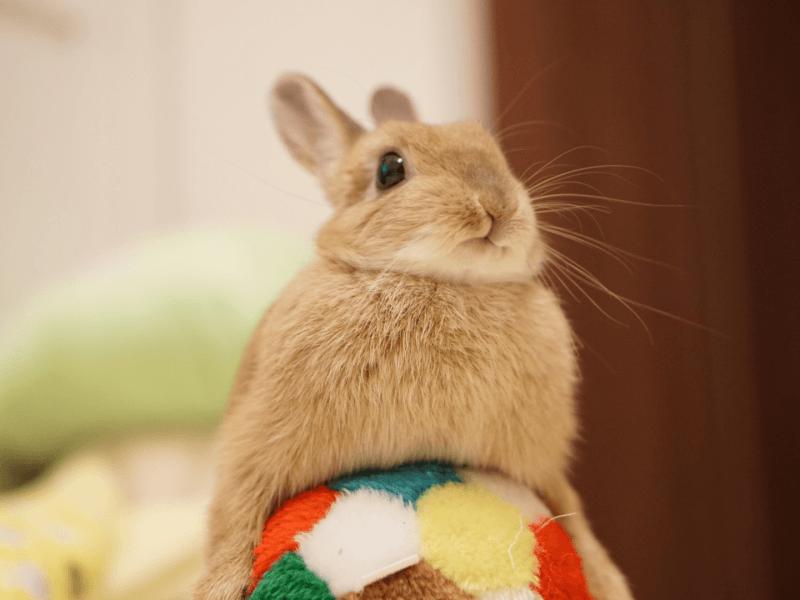 うさぎの性欲・繁殖力が強い理由とは?発情期の行動や飼育する際の注意点も解説 | Petpedia