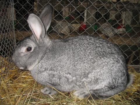 チンチラウサギ