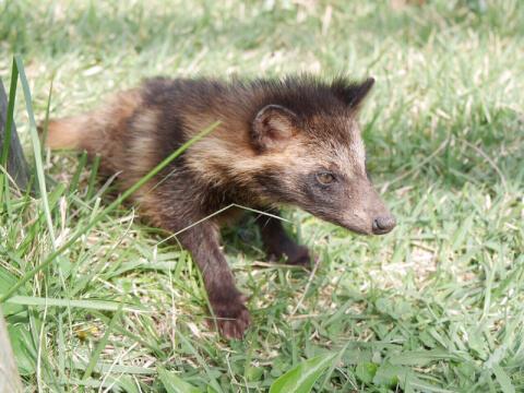 タヌキ 生息地 種類 病気 飼育