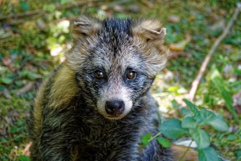 タヌキ 生息地 種類 病気 飼育 ペット