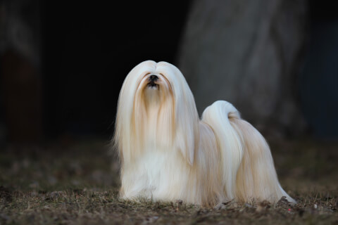 白い長毛のラサアプソ