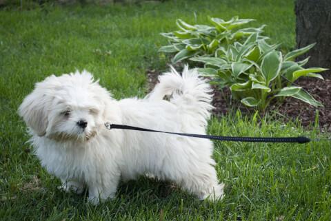 リードをつけたラサアプソの子犬