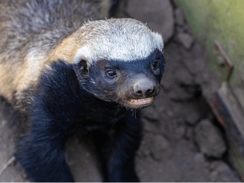 ラーテル 性格 飼育 特徴 ペット 性格