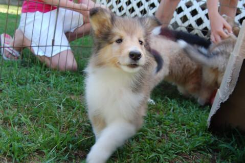 フェンスの前にいるラフコリー子犬