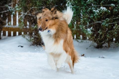 雪の上で走るラフコリー