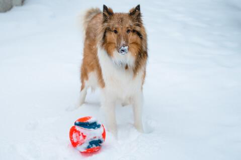 雪の中ボールで遊ぶラフコリー