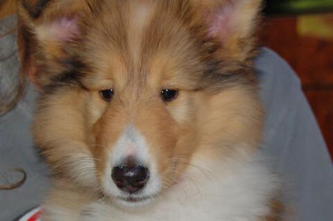 抱かれるラフコリーの子犬