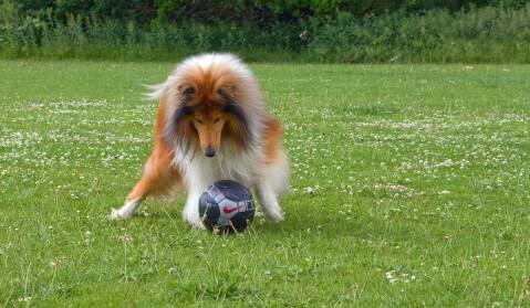 ボールで遊ぶラフコリー