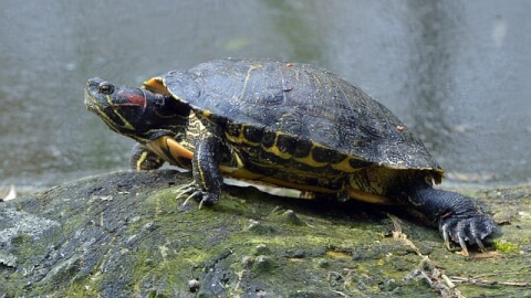 red_eared_turtle
