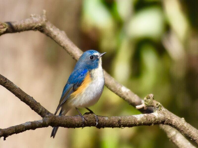 幸せを呼ぶ青い鳥「ルリビタキ」...