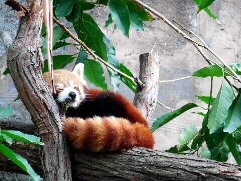 red_panda_population
