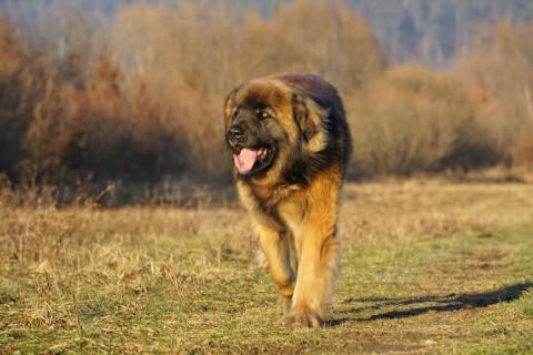 レオンベルガー 値段 寿命 性格 体重 犬 里親