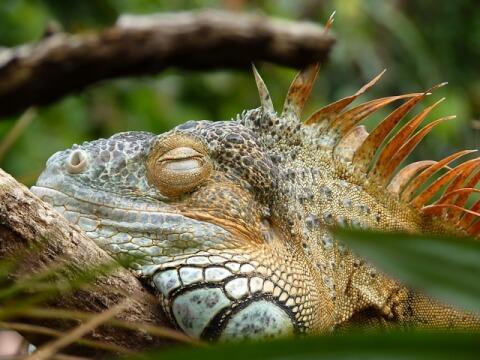 reptile-iguana