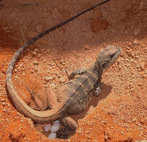 reptile-lizard-egg
