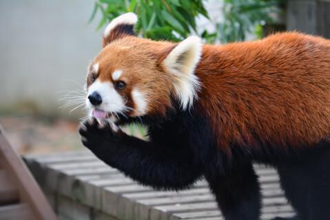 前足をなめるレッサーパンダ