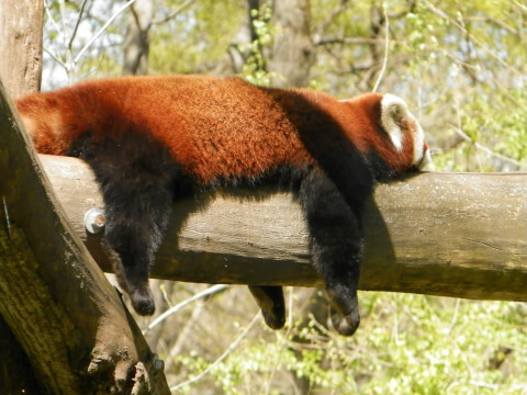 木の上で寝そべるレッサーパンダ