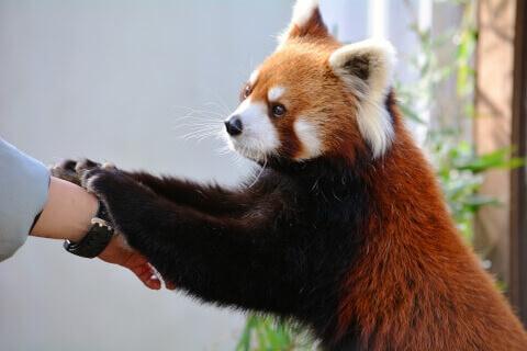 飼育員の手に前足を差し出すレッサーパンダ