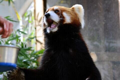 口を開けて立つレッサーパンダ