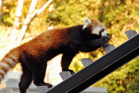スロープを上るレッサーパンダ
