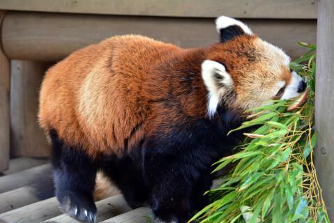 竹に刺したリンゴを食べるレッサーパンダ
