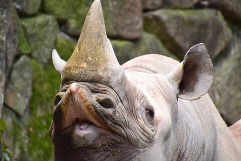 rhino_flehmen_response