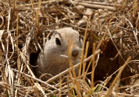 巣穴から顔を出すリチャードソンジリス