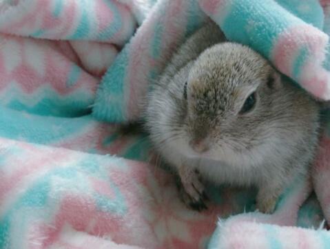 毛布とリチャードソンジリス