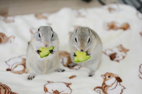 メロンを食べるリチャードソンジリス