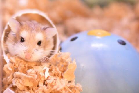 ロボロフスキー ハムスター 値段 種類 寿命 飼育 飼いやすい