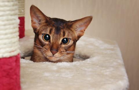 アビシニアン 色 子猫 鳴き声 猫 ソマリ 寿命 性格