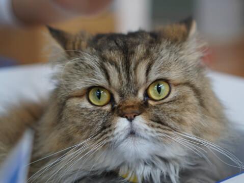猫 ペルシャ アップ