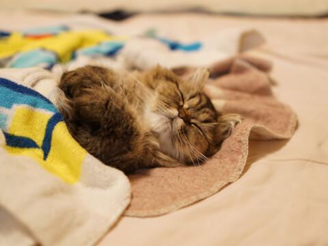 Persian 猫 ペルシャ 寝る