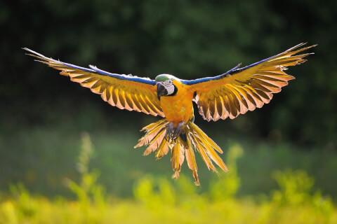 飛ぶルリコンゴウインコ