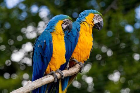 2羽のルリコンゴウインコ
