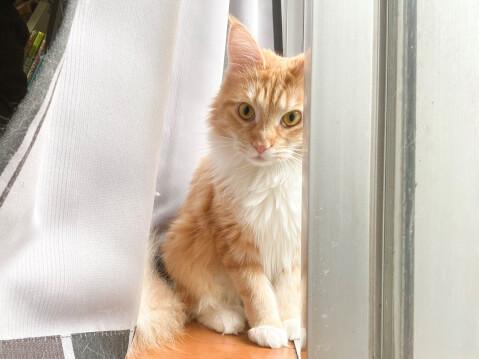 猫 メインクーン カーテン お座り