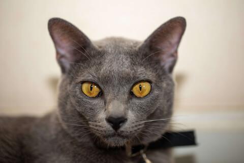 コラット 猫 ロシアンブルー 違い