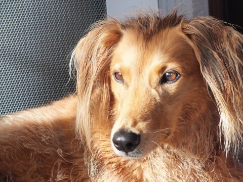 サルーキ 犬 人気 犬種 種類 大型 名前 小型 体重 寿命