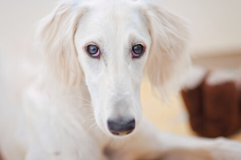 サルーキ 性格 販売 体重 特徴 子犬