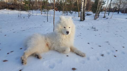 サモエド 大型犬 飼いやすい おすすめ 種類 特徴 長毛 短毛