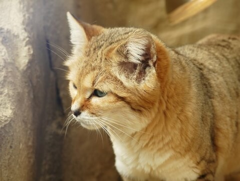 Sand cat licking his paw