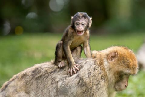 背中に乗る猿