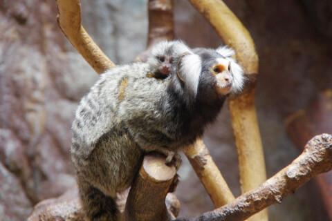 Common_marmoset