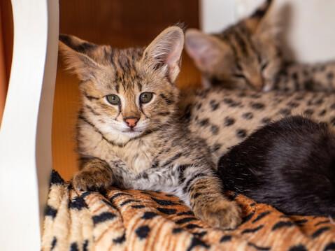 サバンナキャット 猫