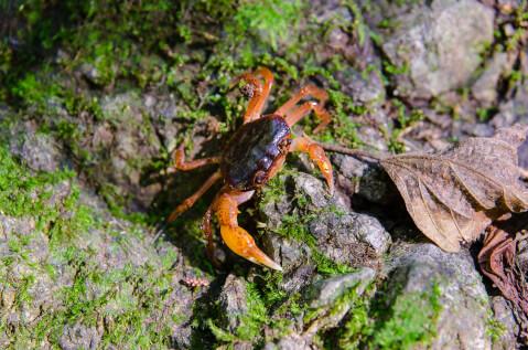 サワガニ 寿命 飼育 時期 繁殖 地域