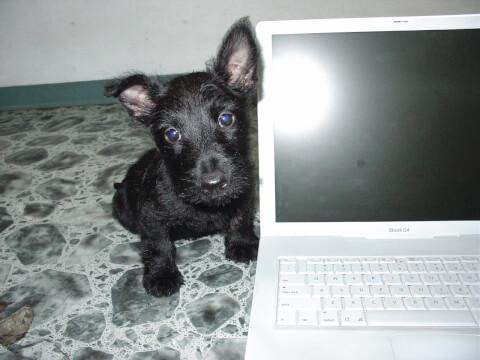 パソコンとスコティッシュテリアの子犬