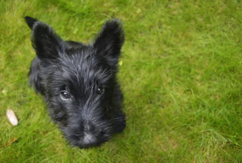 黒いスコティッシュテリアの子犬