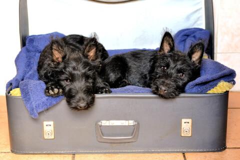 スーツケースに入った2匹のスコティッシュテリア