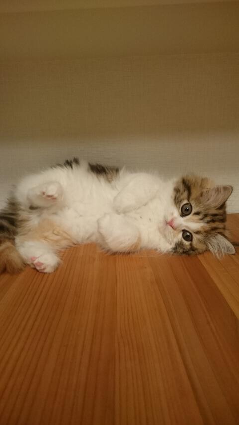 前足を揃えて転がるスコティッシュストレートの子猫